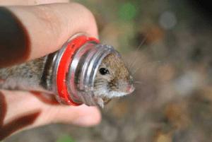 Мышеловка из пластиковой бутылки своими руками: видео, фото