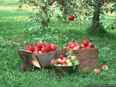 fruit-apples-