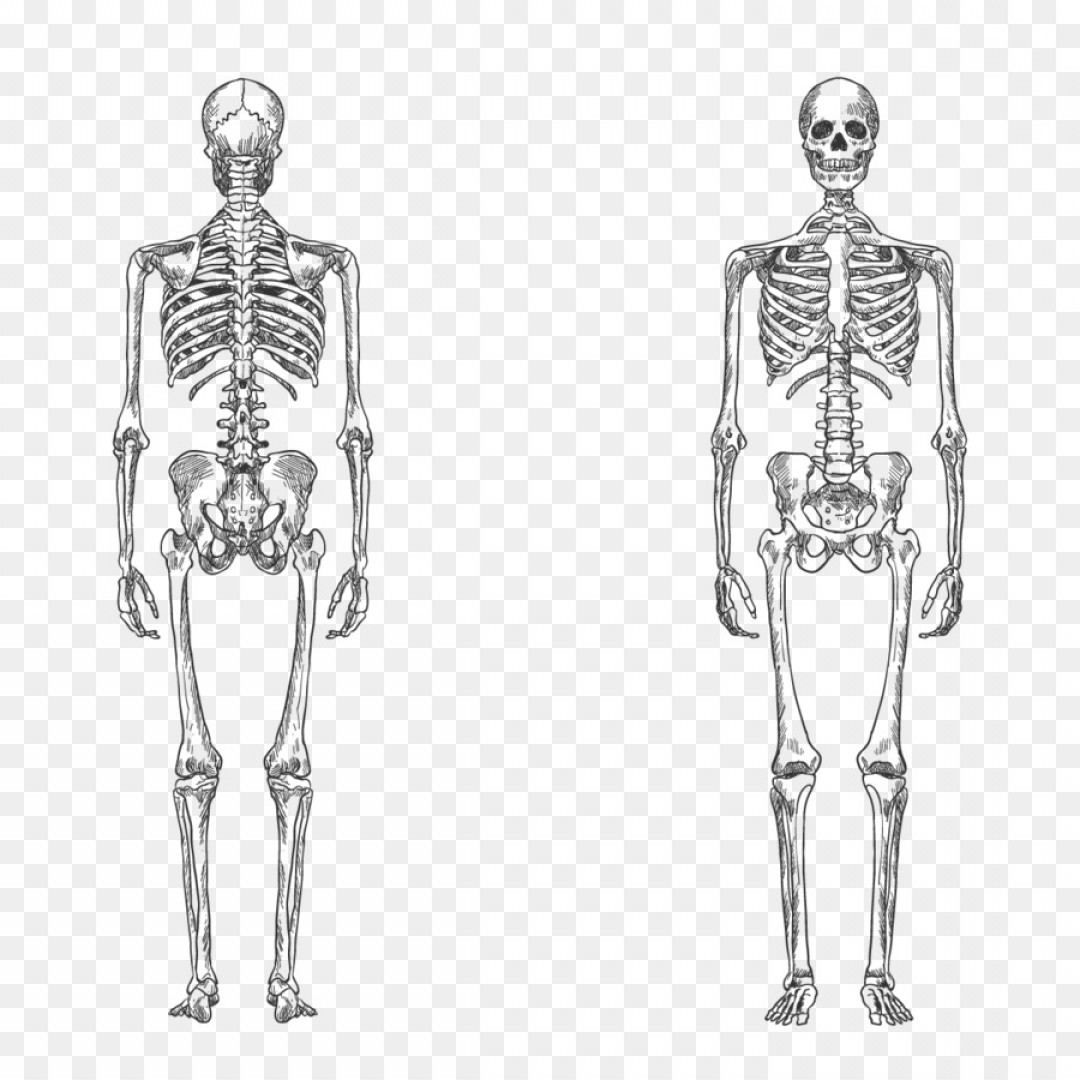 262 Anatomy Vector Images At Vectorified