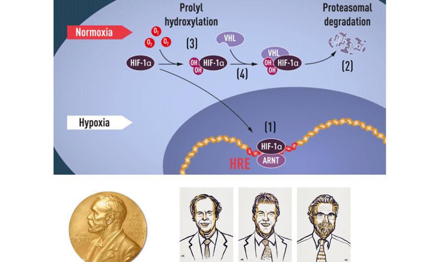 Nobelova cena za medicínu a fyziológiu 2019