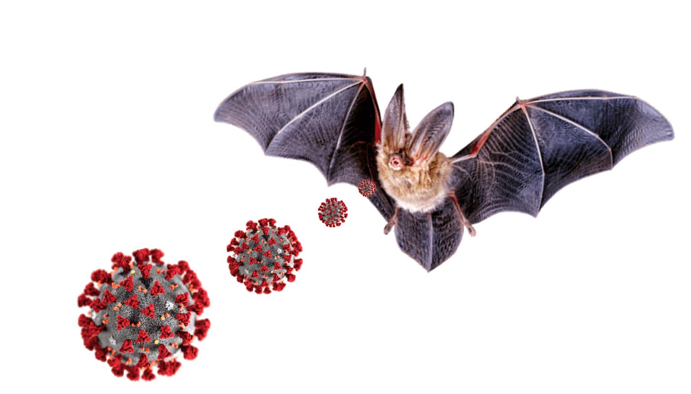 Netopiere koronavirus