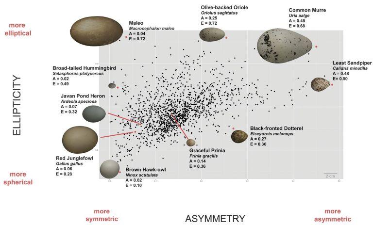 Porovnanie tvarov vajíčok, stoddard et al/Science.