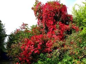 autumn-colour-sept-25th-veddw-032-virginia-creeper-jpg-s