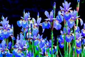 Iris sibirica at Veddw House June Copyright Charles Hawes..