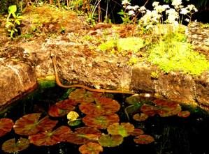 Snake in pond at Veddw, copyright Anne Wareham