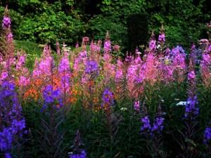 Wild garden flowers Veddw copyright Anne Wareham