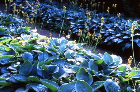 Hosta walk, before Ian removed the dead flowers of the nectascorum. Copyright Charles Hawes