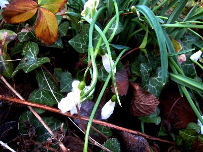 Snowdrops at Veddw copyright Anne Wareham, South Wales Garden