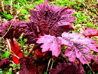 April 2103 Rheum palmatum 'Atropurpureum' at Veddw copyright Anne Wareham