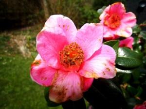Frost damaged Camellia Veddw