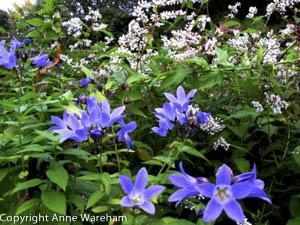 Campanula lactiflora and Persicaria campanulata alba at Veddw