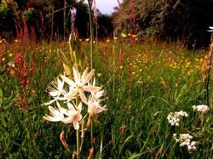 Meadow s June 2013 092 White cammasia in Veddw meadow Copyright Anne Wareham