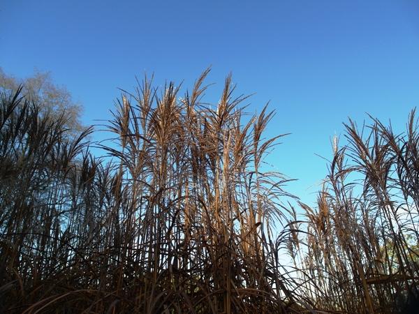 Miscanthus autumn Veddw copyright Anne Wareham
