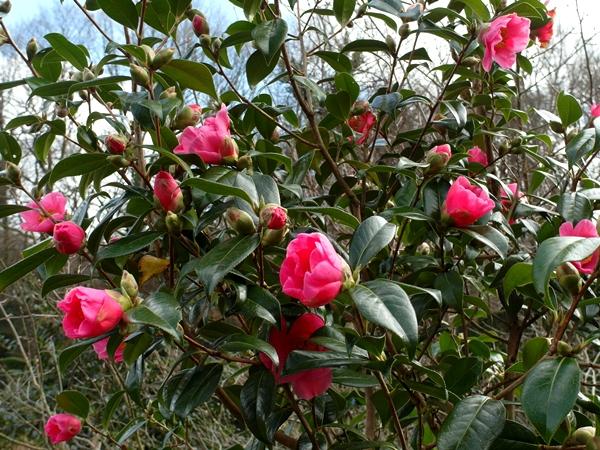 Camellia 'Donation' at Veddw Copyright Anne Wareham SAM_9457