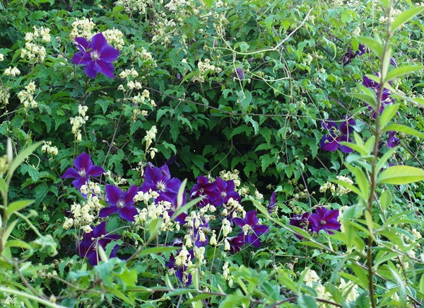 Clematis August 2014 early Veddw Copyright Anne Wareham 009