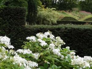 hydrangeas-at-veddw-copyright-anne-wareham