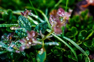 water-dropets-on-leaves-veddw-coyright-anne-wareham-