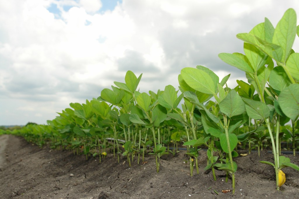 Soybean plants in field