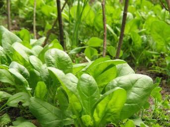Spinat-Zwischenreihen