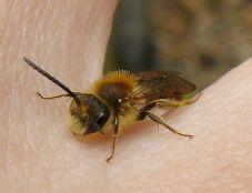 Winzige Wildbiene