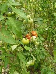 """Das rote """"Ochsenherz"""" könnte der 1,5 kg- Tomate Konkurrenz machen ;)"""
