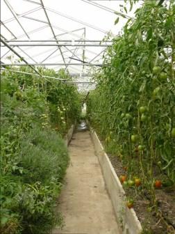 Tomaten und andere Gemüse in Kiels Sonnengarten