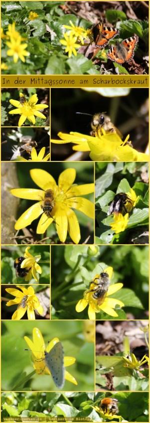 Scharbockskraut - Schmetterlings- und Insektenweide