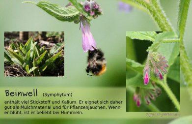 Beinwell symphytum