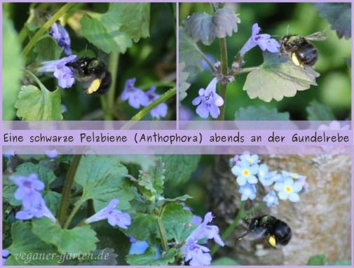 Pelzbiene (Anthophora)