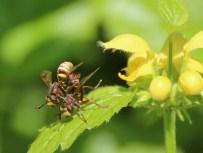 Grosse Wespendickkopffliege (conops vesicularis)