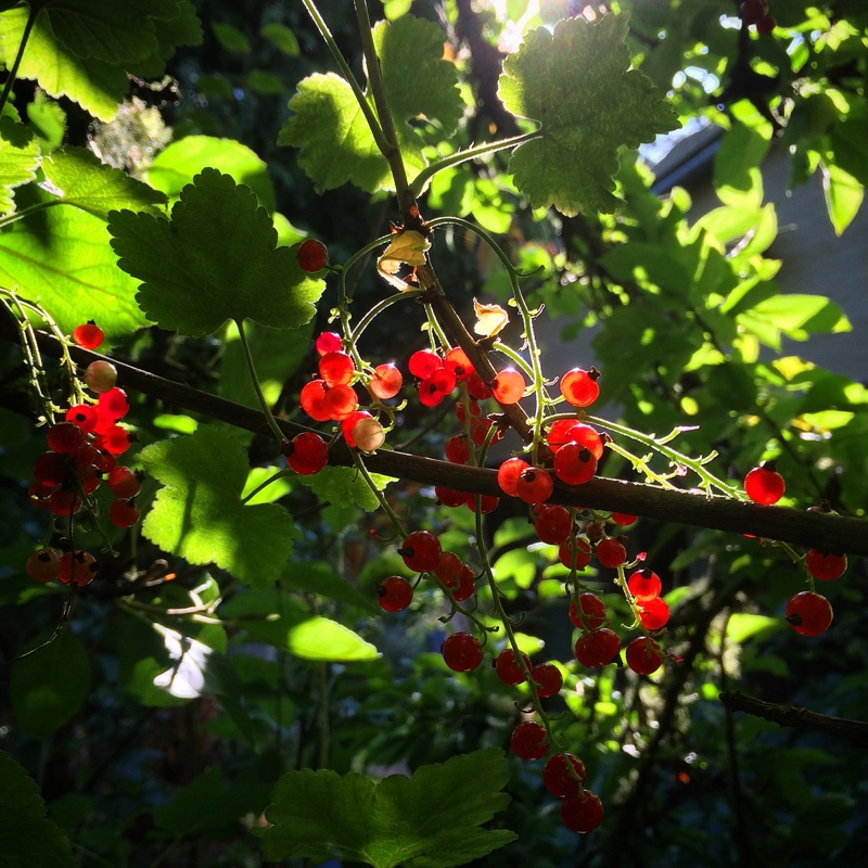 redcurrants in the sun