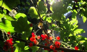 currants in the garden of the Vegan Family House