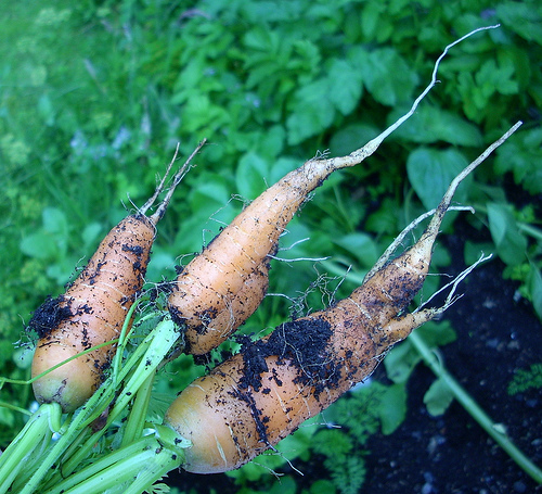 carrots from the forest garden