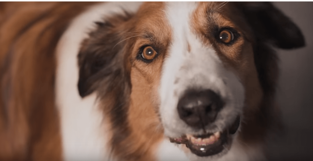 Closeup of a collie chewing food and talking from Beneful commercial