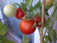 Tomaten #1