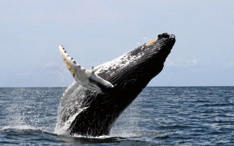 Ugró bálna