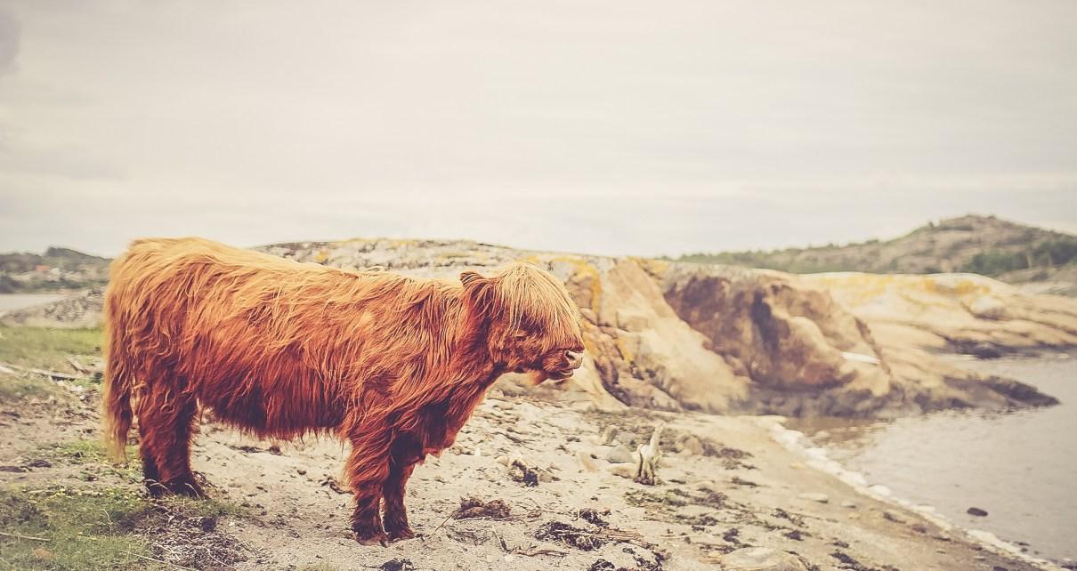 Hosszú szőrű, vöröses barna bika egy tóparton.