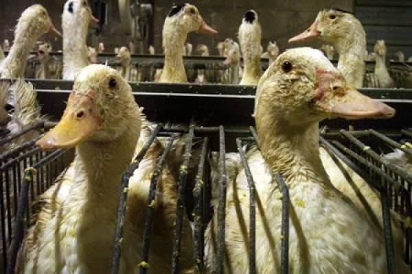 Nutricion-dietas-granjas-foie-gras