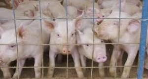 piglets La carne. Meat? Flesh?