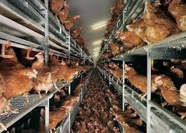 maltrato gallinas