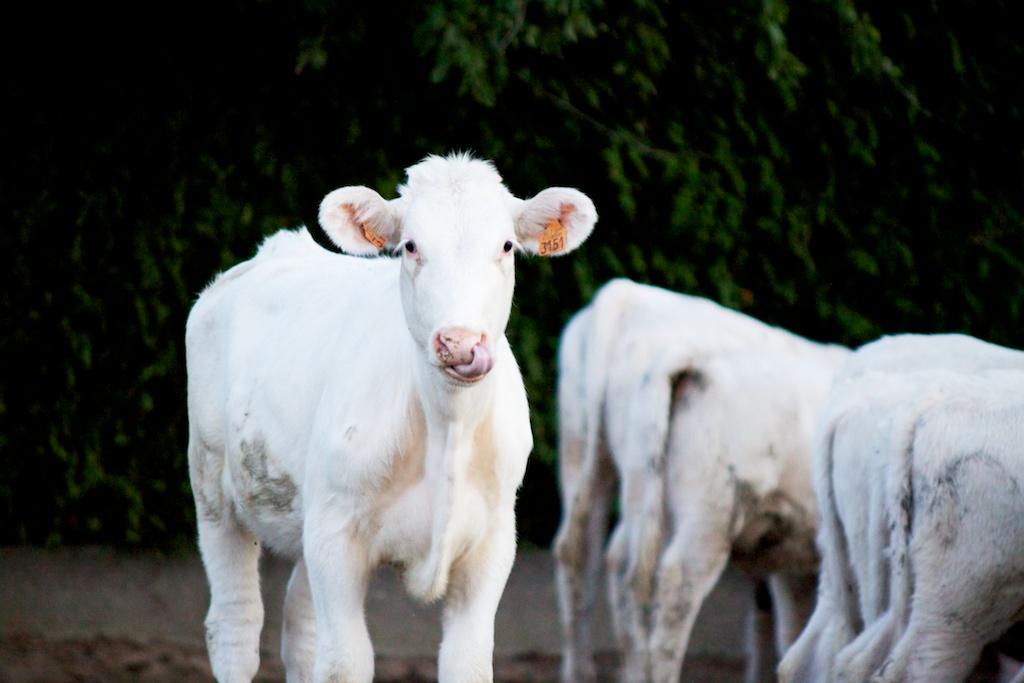 Kalfje - waarom geen melk