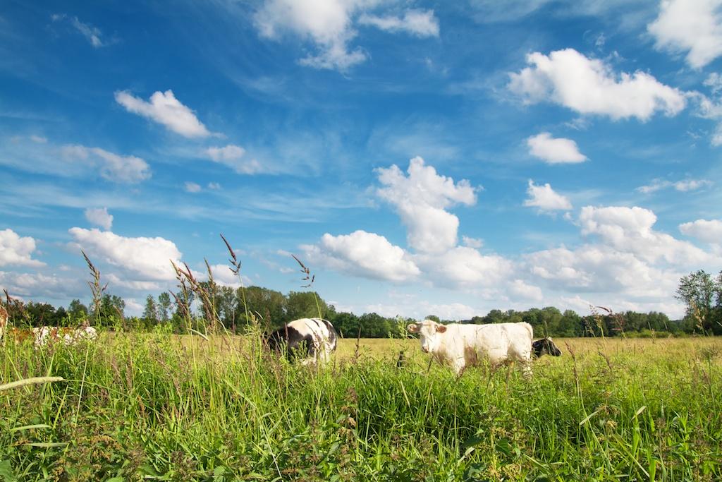 Koeien in de wei - lactose-intolerantie