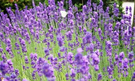 Summertime = lavendeltime // 9 recepten met lavendel