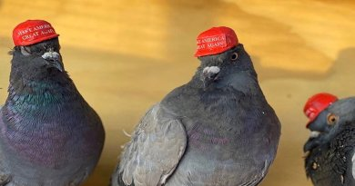 A group has glued MAGA hats to pigeons in Las Vegas and released them as a political statement on the eve of the Democratic debate.