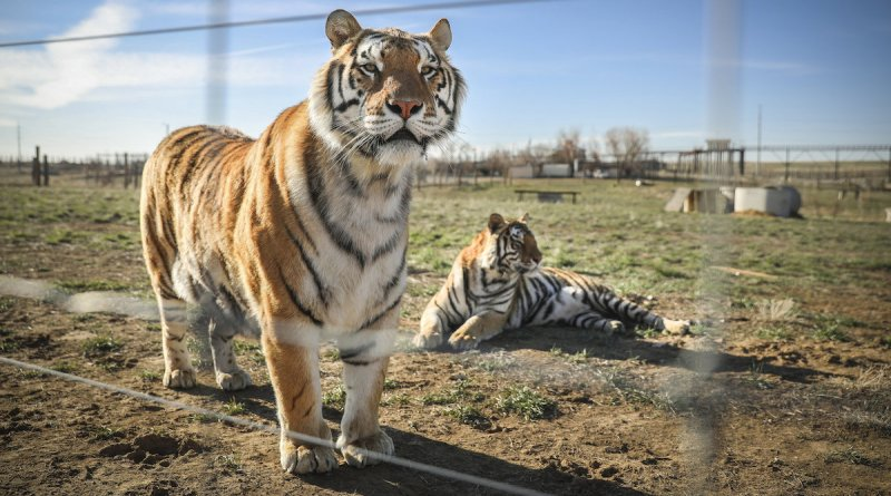 Netflix's Tiger King has influenced Virginia lawmakers to pass a law banning on tiger cub petting. Now it's time to pass the Big Cat Safety Act Federally.