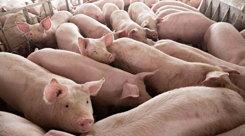 African Swine Fever is ravaging China's pig populations and has now spread to Poland's pigs. Over 10,000 pigs are now infected in Poland.