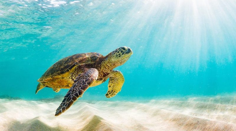After not nesting at all in 2019 because humans dirupted their nesting more than 70,000 sea turtles nested peacfully this year.