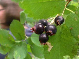 Unknown Berry Alaksa | Vegan Nom Noms