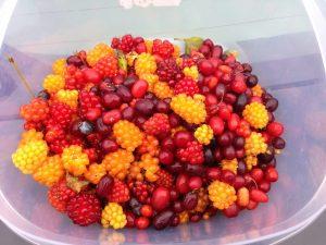 Wild Berry Foraging Alaska | Vegan Nom Noms