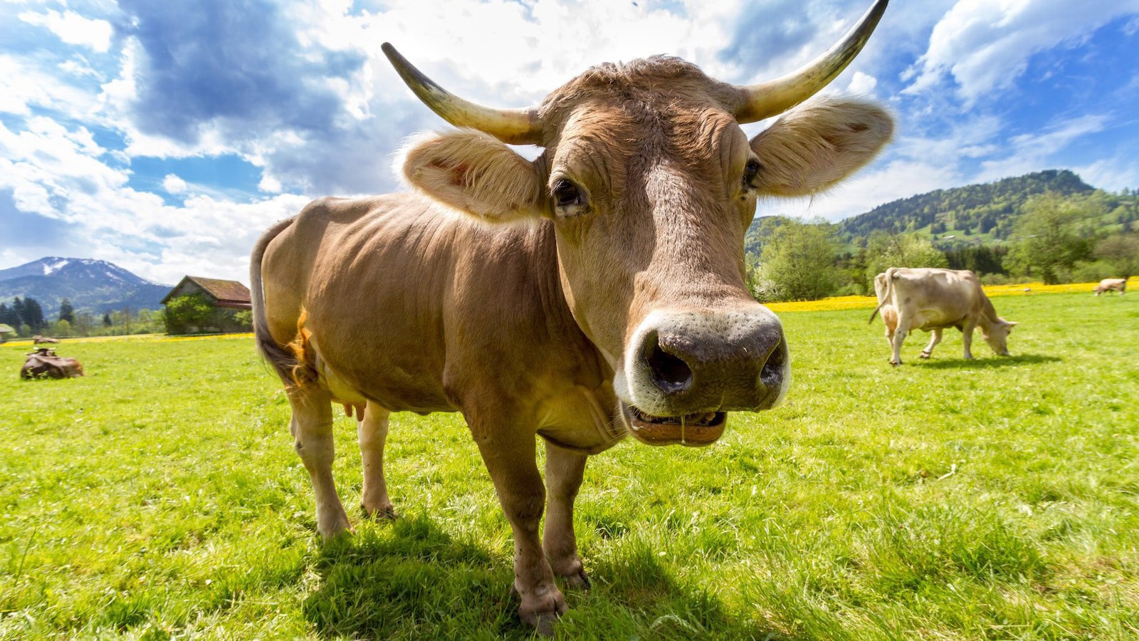 Image result for cow sheep